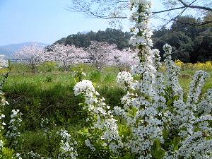 箸墓古墳と春の花