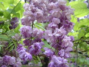 春日大社神苑の八重咲の藤