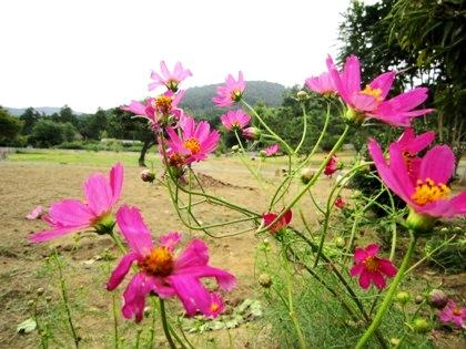 桧原わらべ花の里のコスモス