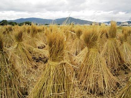 三輪山と収穫風景