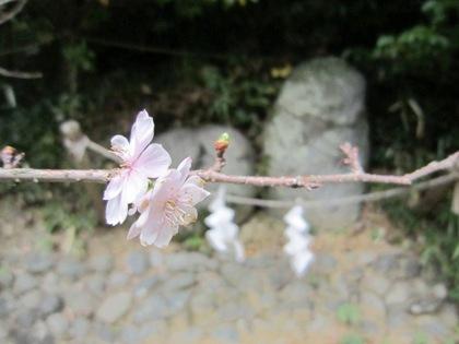 むすびの神石と寒桜