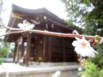 飛鳥坐神社のカンザクラ