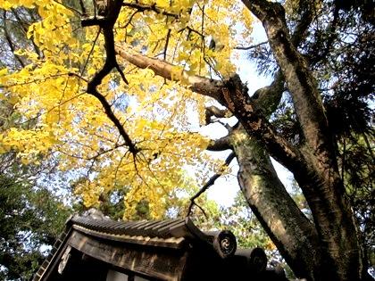 市杵島神社の銀杏