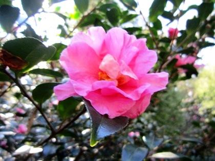 大和神社の花