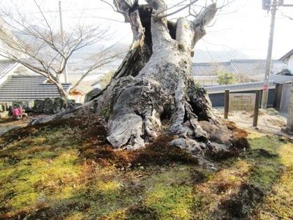 玉列神社のケヤキ