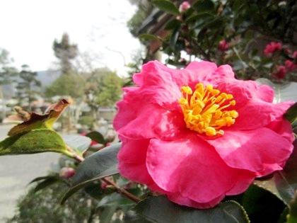 飛鳥寺の山茶花