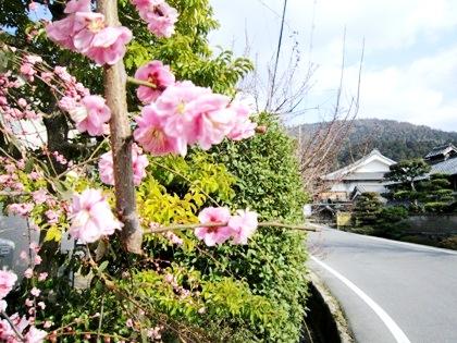 車谷の梅花