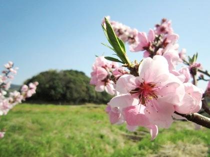 崇神天皇陵陪塚と桃の花
