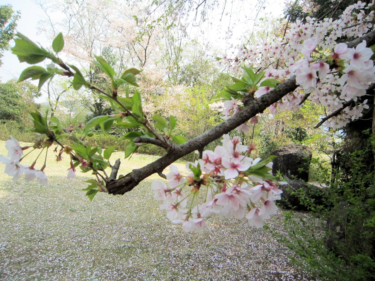 土舞台の桜