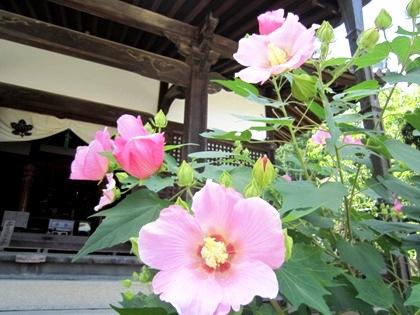 橘寺観音堂と芙蓉