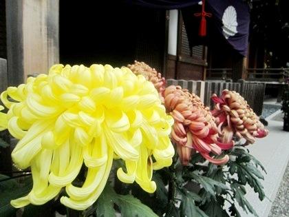 大神神社の厚走り菊花