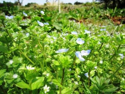 恋人の聖地に咲く青い花