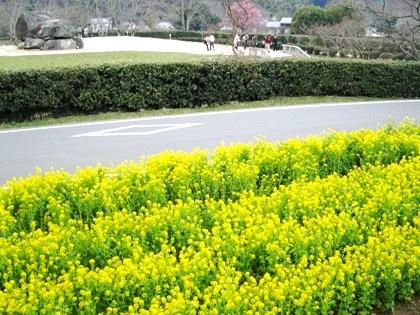 石舞台古墳の菜の花