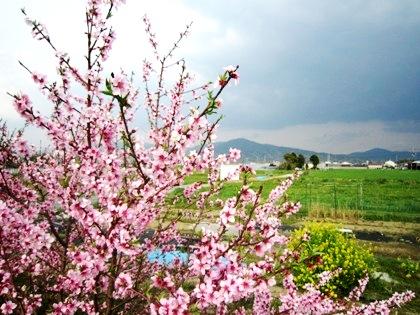 三輪山と春の花