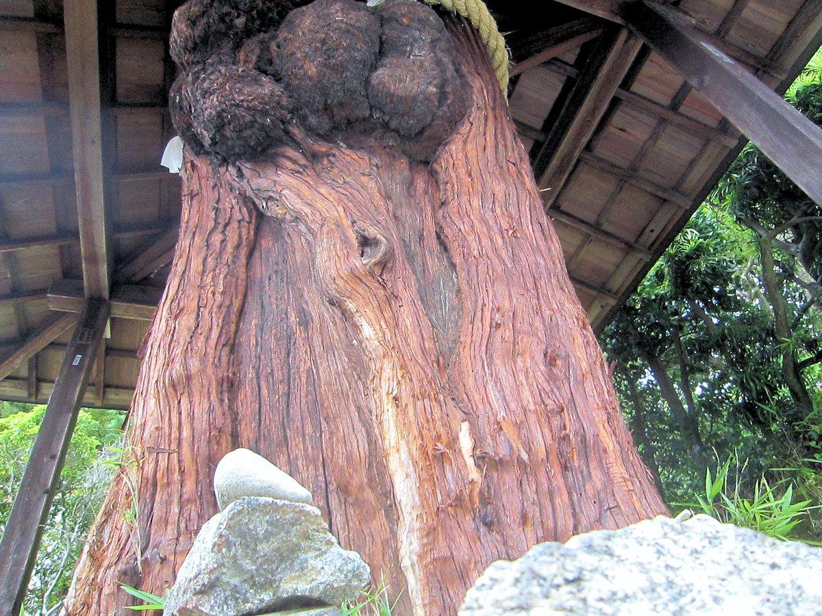 若宮社のおだまき杉
