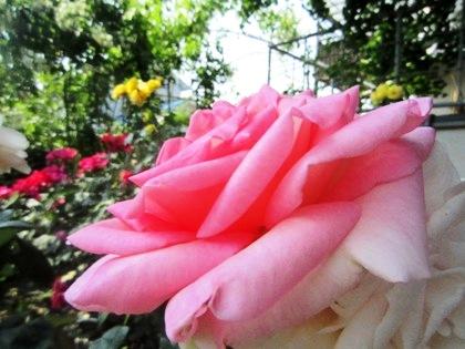 おふさ観音の薔薇園