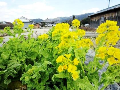 飛鳥寺と菜の花