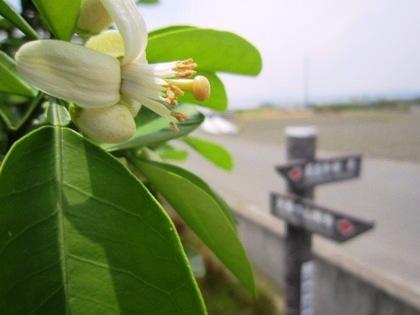 山の辺の道に開花する蜜柑の花