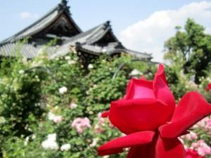 The rose garden of Ofusa Kannnon Temple