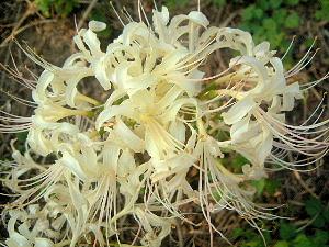 国営飛鳥歴史公園に開花する白い彼岸花