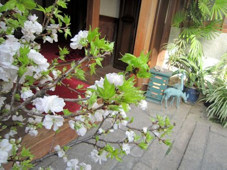 大正楼玄関口の牡丹桜