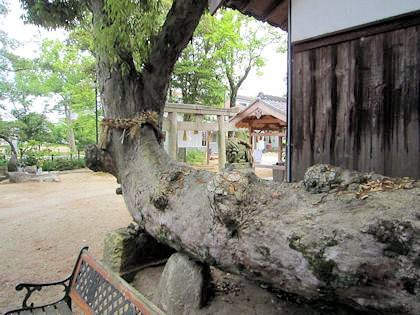 角刺神社の御神木