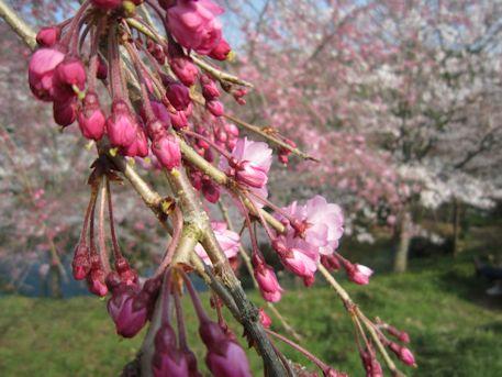大神神社の枝垂桜