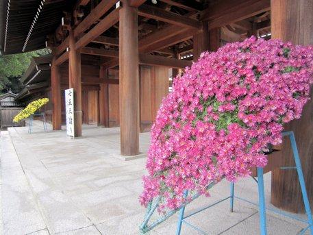 橿原神宮の菊花