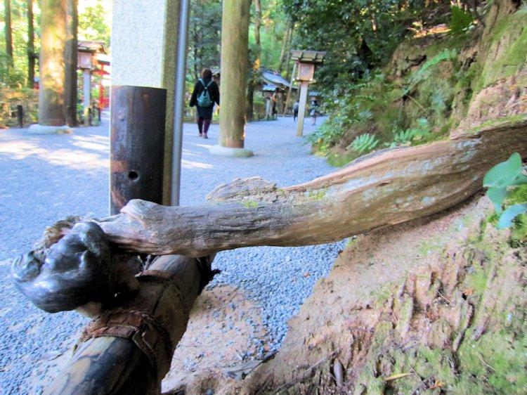 狭井神社参道木の根っこ