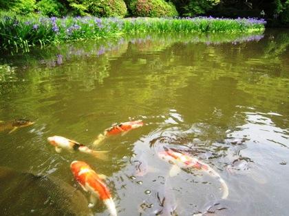 放生池の鯉