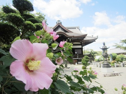 橘寺の芙蓉