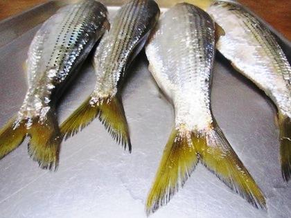 コノシロの尾鰭