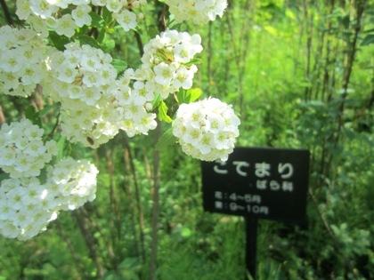 万葉庭園のコデマリ