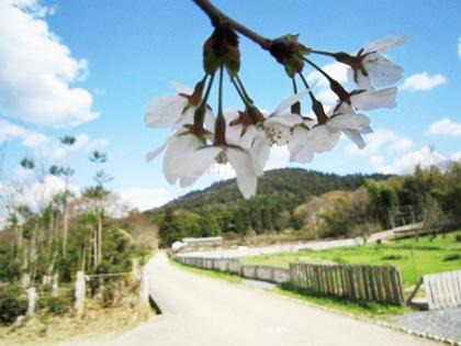 井寺池畔の桜