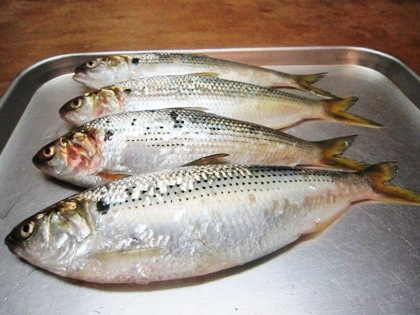 出世魚のコノシロ