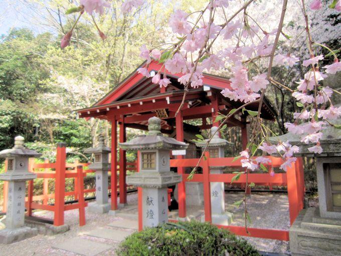 安倍文殊院晴明堂の桜