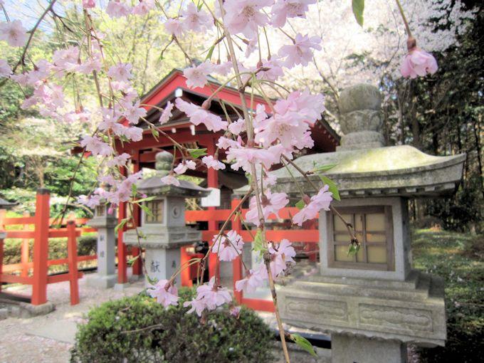 晴明堂の枝垂桜