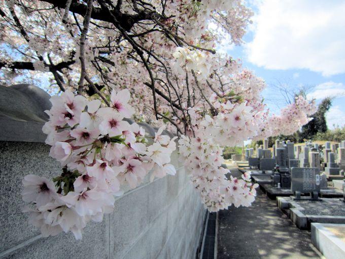慶運寺の桜