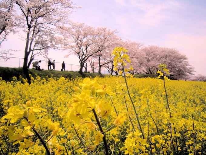 藤原宮跡の菜の花畑