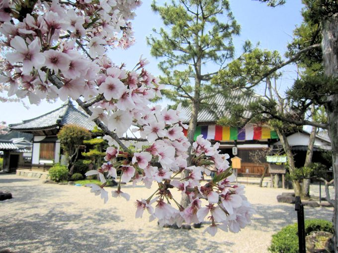飛鳥寺の桜