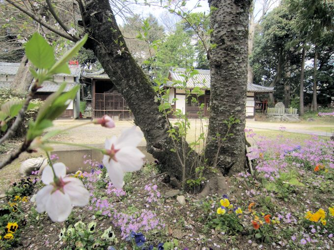 国津神社の桜