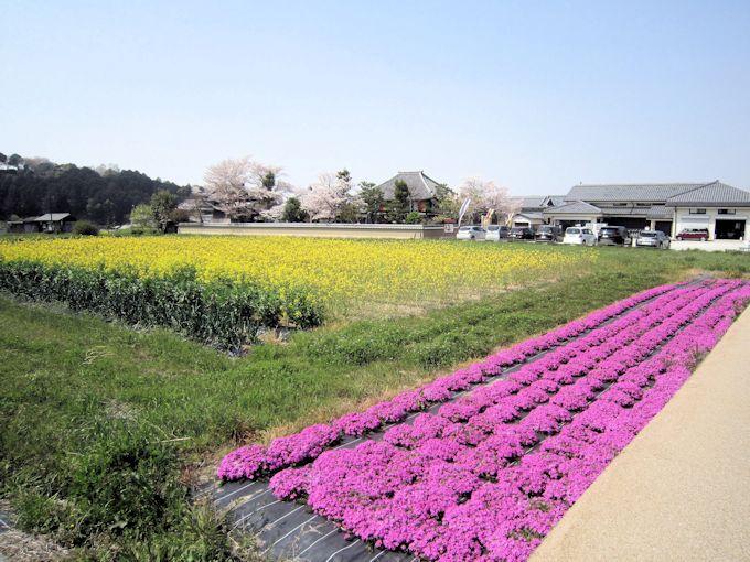飛鳥寺周辺の菜の花と芝桜