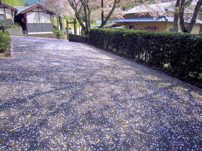 飛鳥寺研修会館の桜