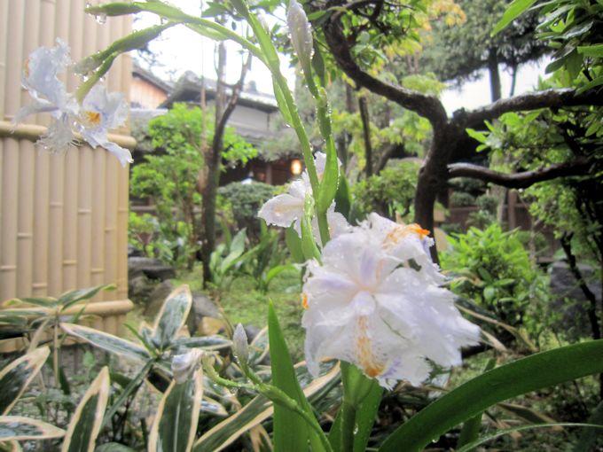 中庭のシャガ