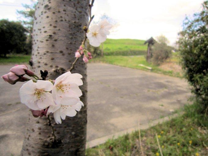 ホケノ山古墳の桜