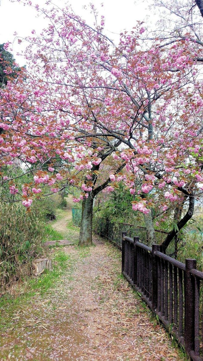 土舞台と安倍山城跡の間の桜