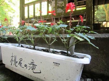 桃尾の滝の花壇