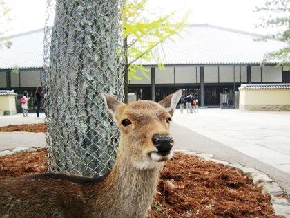 東大寺ミュージアム前の鹿