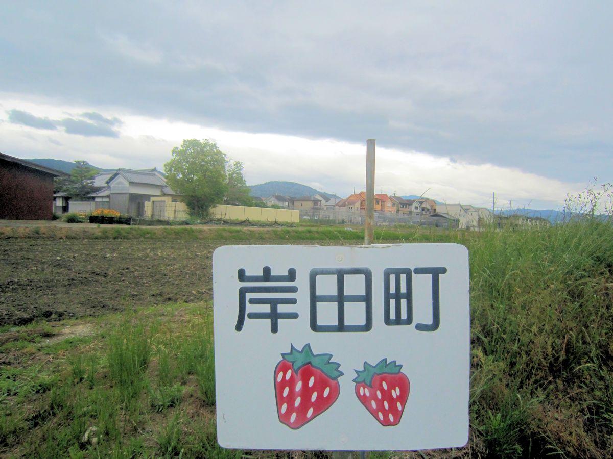 岸田町の苺