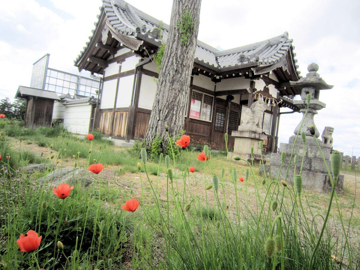 姫皇子命神社のナガミヒナゲシ